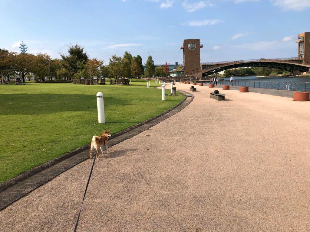 環水公園で楽しそうに散歩する柴犬