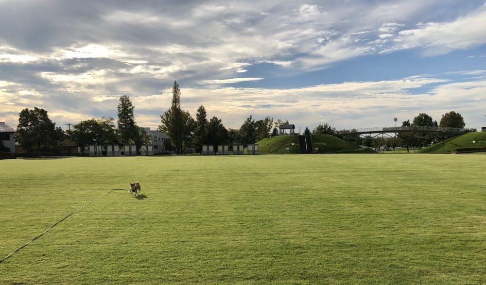 城東ふれあい公園の芝生広場でボールで遊ぶ柴犬
