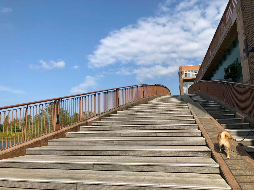 天門橋の階段を上っている柴犬
