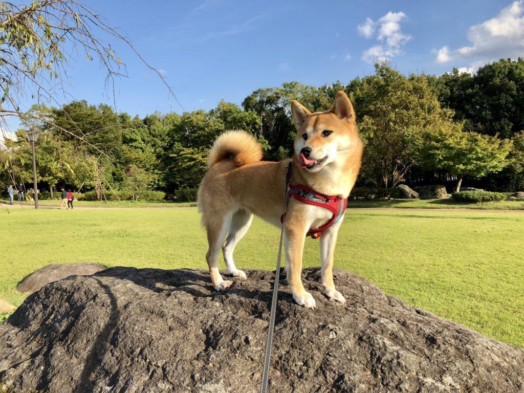 岩の上で舌をペロっとしている柴犬