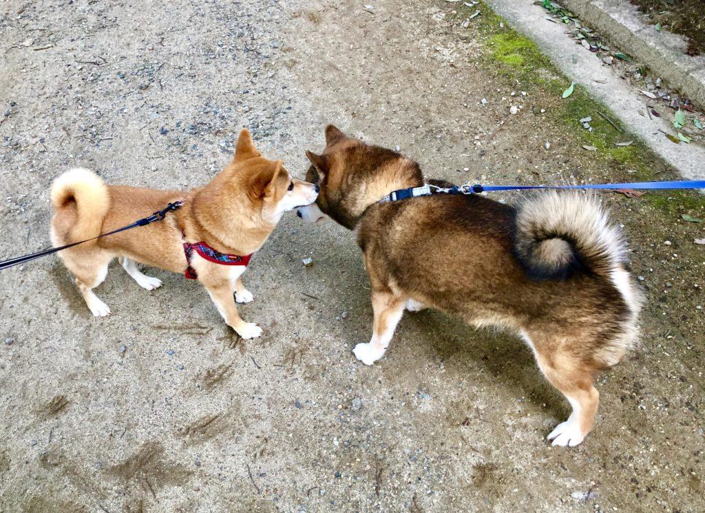 2頭の柴犬が話をしているところ