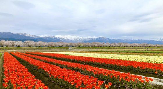 春の四重奏のチューリップ畑