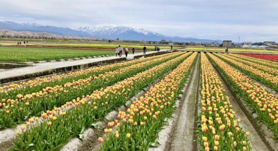 春の四重奏のチューリップ畑 その2