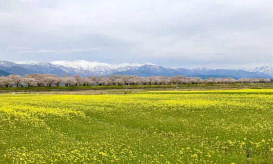 春の四重奏の菜の花畑 その2