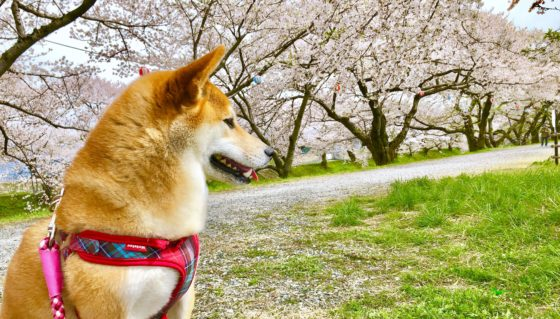 舟川べり桜並木を満喫する柴犬
