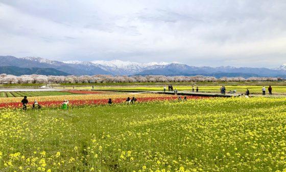 春の四重奏の菜の花畑 その3