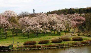 呉羽山公園 都市緑化植物園の桜