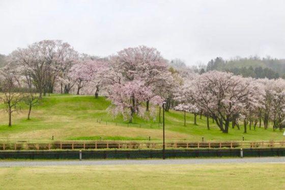 呉羽山公園 都市緑化植物園の桜その2