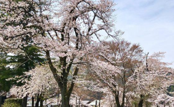 神岡城の桜