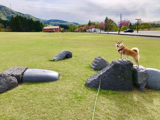 芝生公園で犬の散歩をしているところ