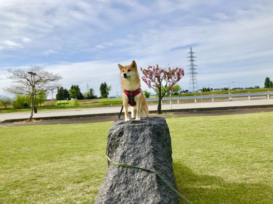 岩に登る犬