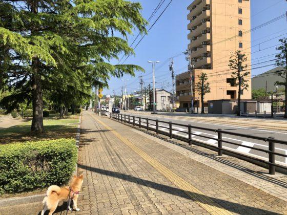 市電通りを覗く柴犬