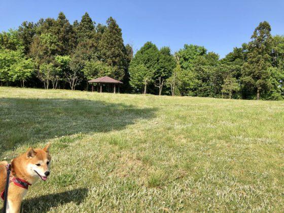 立山町総合公園で散歩をする柴犬