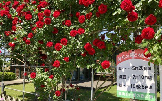 おとぎの森公園のバラの見頃
