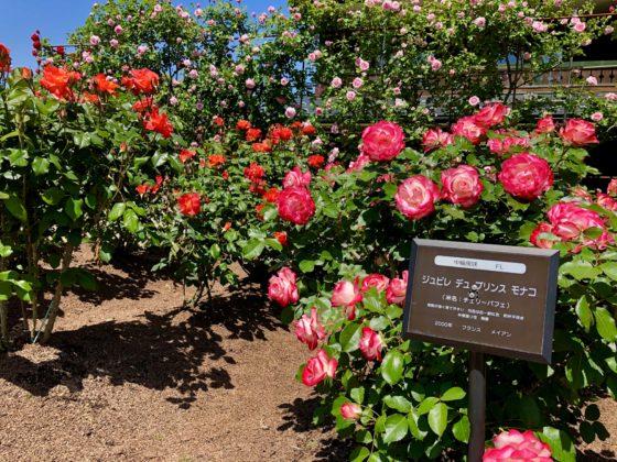 プリンセスモナコのバラ