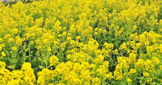 都市緑化植物園の菜の花