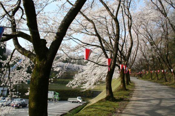水道つつじ公園の桜